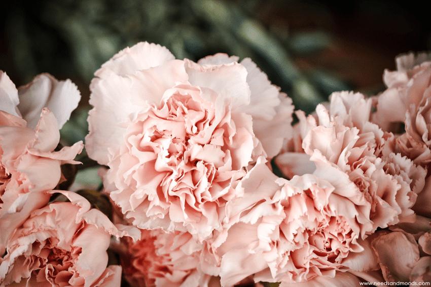 Oeillet sims rose pâle france fleurs