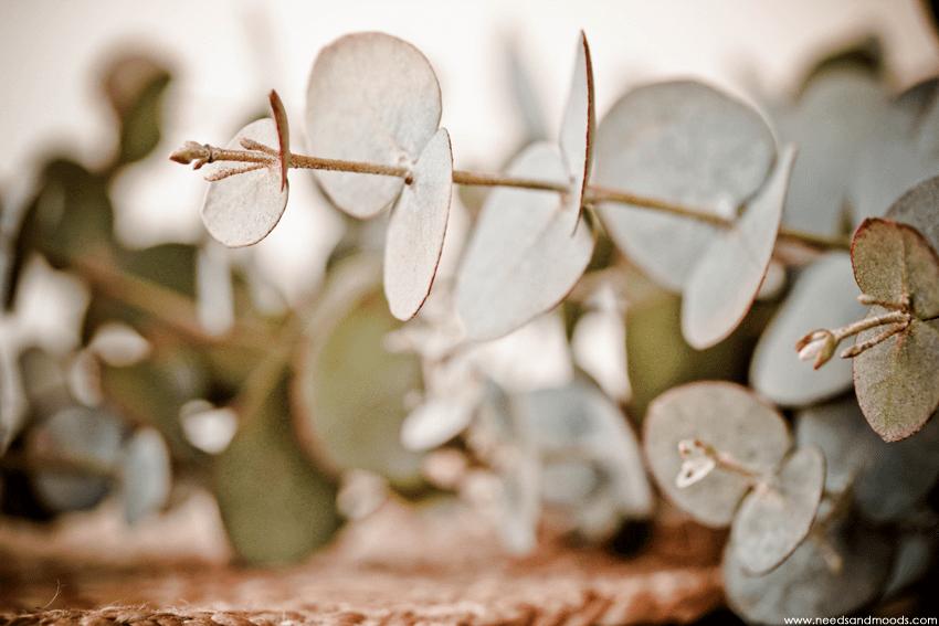 feuille Eucalyptus