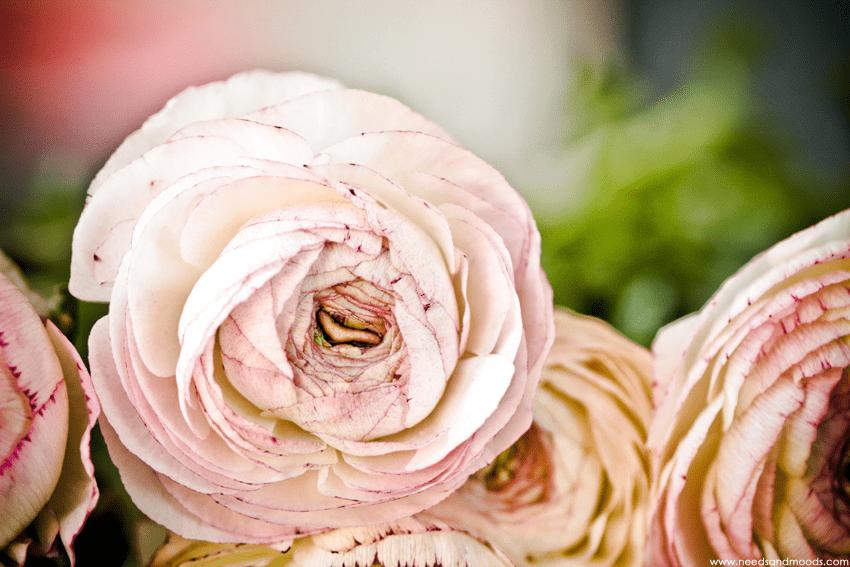 fleur coupee renoncule