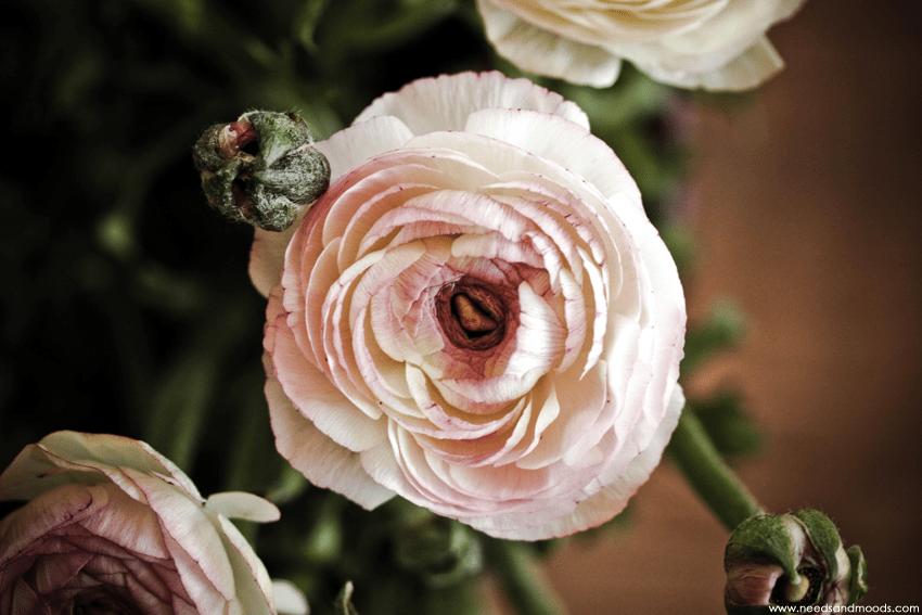 fleur renoncule