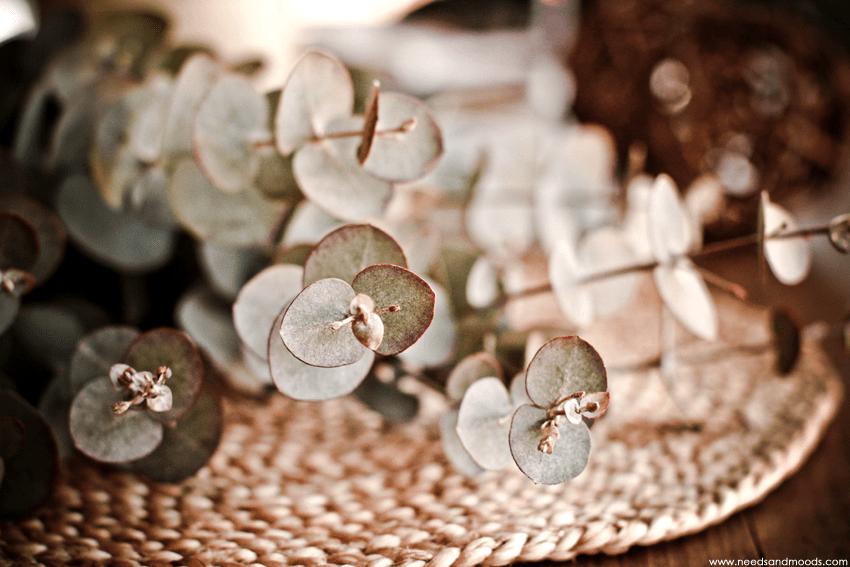 france fleurs Eucalyptus cinerea