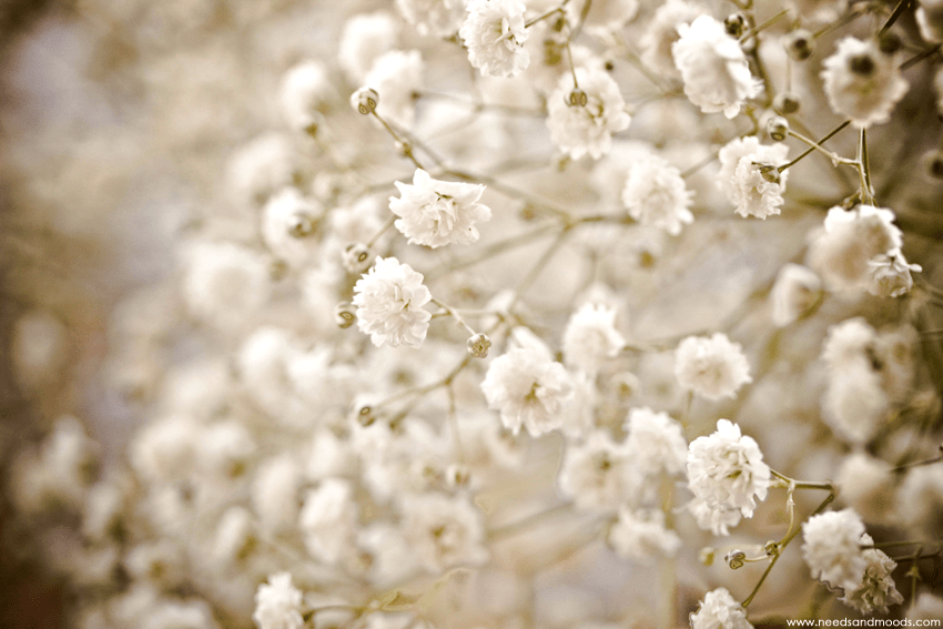 france fleurs Gypsophile Perfecta