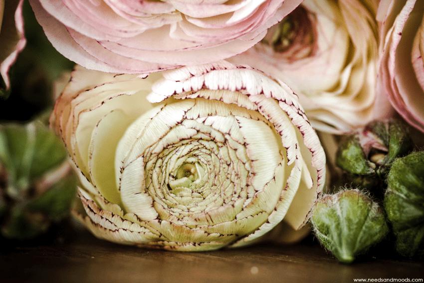 renoncule rose verte