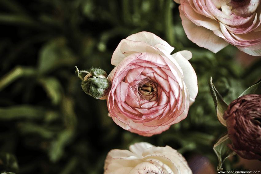 renoncule rose