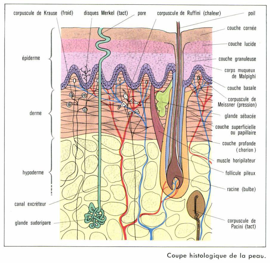 coupe-histologique-peau