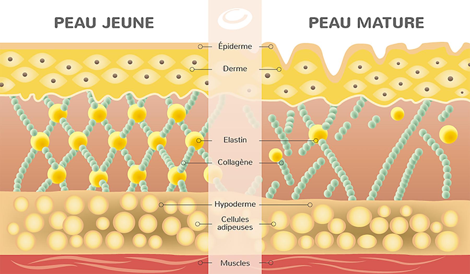 collagene-peau